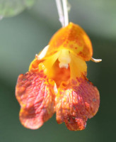 Photo of Spotted Jewelweed On NaturalCrooksDotCom