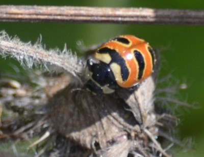 Photo of Three Banded Lady Beetle on NaturalCrooksDotCom