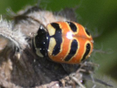 Photo of Three Banded Ladybug On NaturalCrooksDotCom