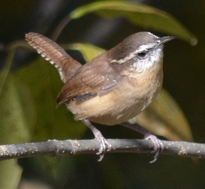 Photo of Carolina Wren on NaturalCrooksDotCom