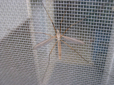 Crane Fly Screen on NaturalCrooksDotCom