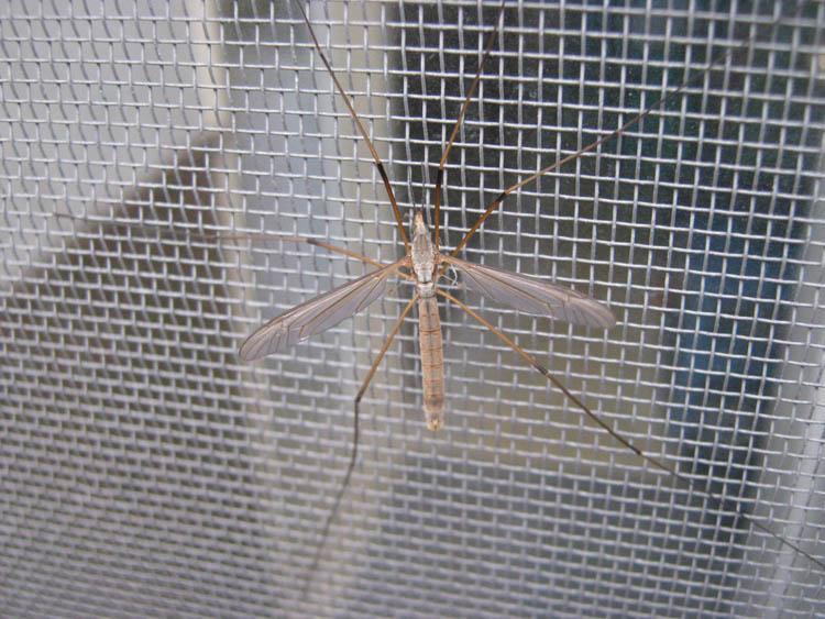Crane fly screen on naturalcrooksdotcom
