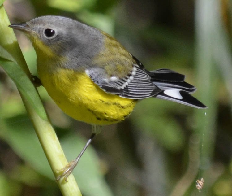 magnolia warbler fall - photo #47