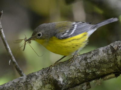Photo of Magnolia Warbler Crane Fly on NaturalCrooksDotCom