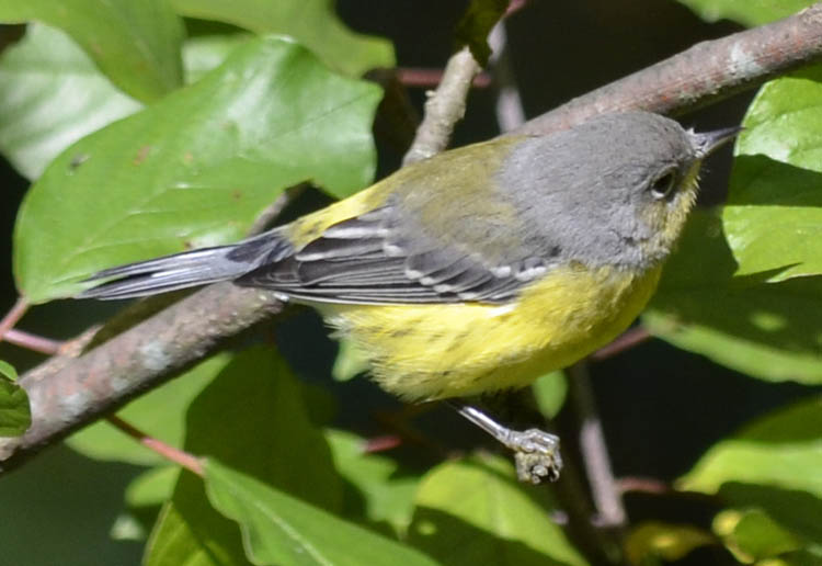 magnolia warbler fall - photo #13