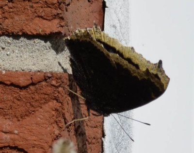 Photo of Mourning Cloak Brick on NaturalCrooksDotCom