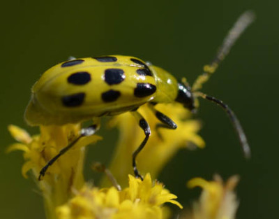 Photo of Spotted Cucumber Beetle Goldenrod On NaturalCrooksDotCom