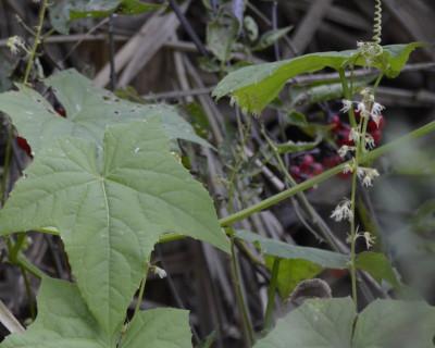 Photo of Wild Cucumber Flowers on NaturalCrooksDotCom