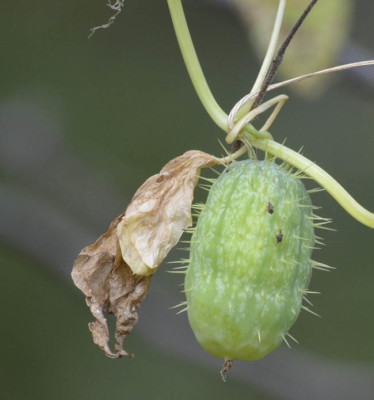 Photo of Wild Cucumber Green on NaturalCrooksDotCom