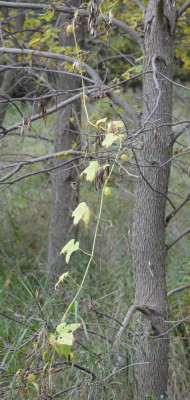 Photo of Wild Cucumber Vine on NaturalCrooksDotCom