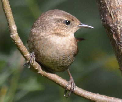 Photo of Winter Wren Right Profile On NaturalCrooksDotCom
