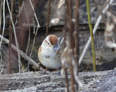 Photo of American Tree Sparrow Forward On NaturalCrooksDotCom