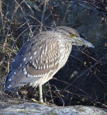 Photo of Black Crowned Night Heron Juvenile Bill on NaturalCrooksDotCom