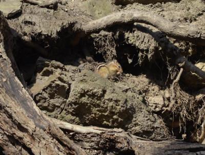 Photo of Chipmunk Roots On NaturalCrooksDotCom