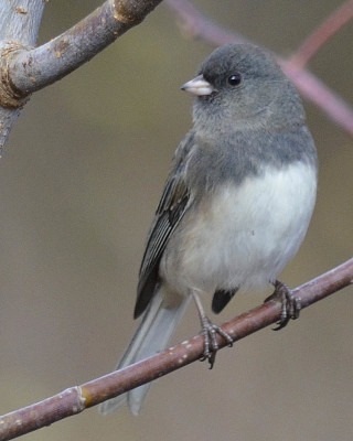 Photo of Dark Eyed Junco Left On NaturalCrooksDotCom