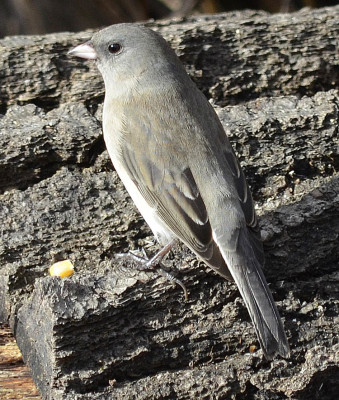 Photo of Dark Eyed Junco Log on NaturalCrooksDotCom