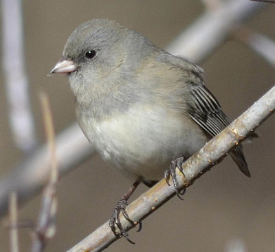 Photo of Dark Eyed Junco Pale on NaturalCrooksDotCom
