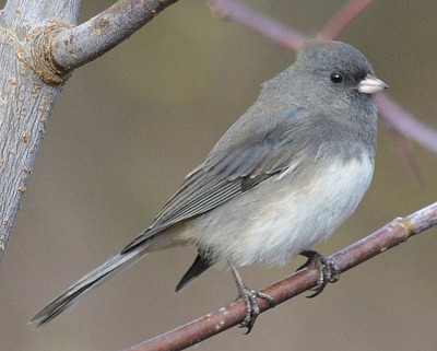 Photo of Dark Eyed Junco Saplling on NaturalCrooksDotCom