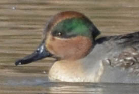 Photo of Green Winged Teal Male Face on NaturalCrooksDotCom