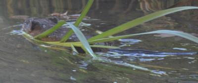 Photo of Muskrat Plant Towing on NaturalCrooksDotCom
