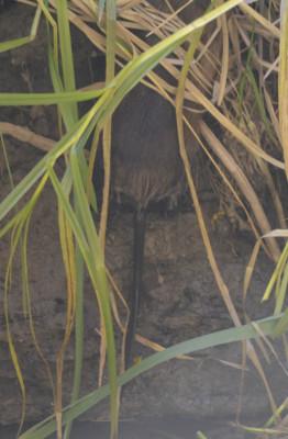 Photo of Muskrat Tail on NaturalCrooksDotCom