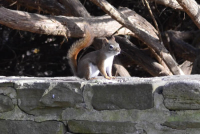 Photo of Red Squirrel Wall on NaturalCrooksDotCom