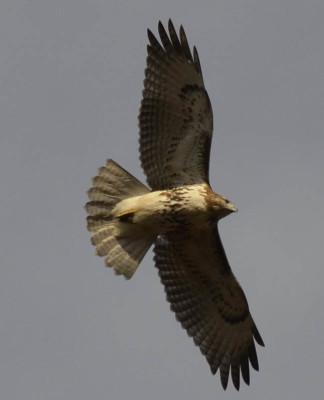 Photo of Red Tailed Hawk 1 on NaturalCrooksDotCom