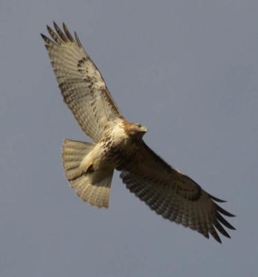 Photo of Red Tailed Hawk 2 on NaturalCrooksDotCom