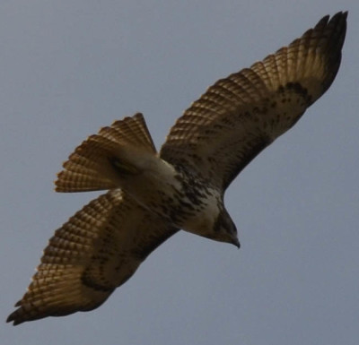 Photo of Red Tailed Hawk 3 on NaturalCrooksDotCom