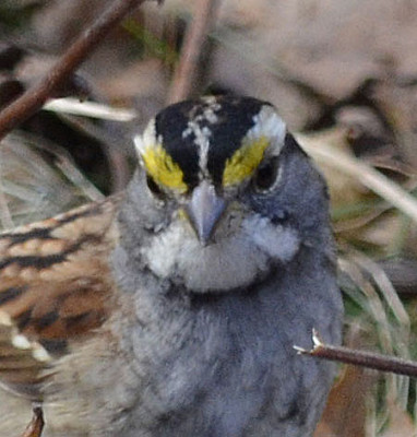 Photo of White Throated Sparrow Face on NaturalCrooksDotCom