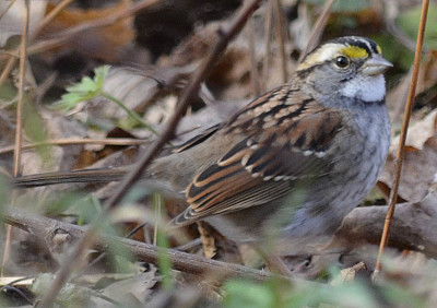 Photo of White Throated Sparrow Leaves on NaturalCrooksDotCom