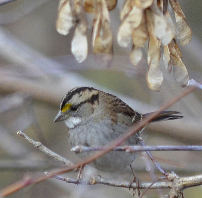 Photo of White Throated Sparrow MB Maple on NaturalCrooksDotCom