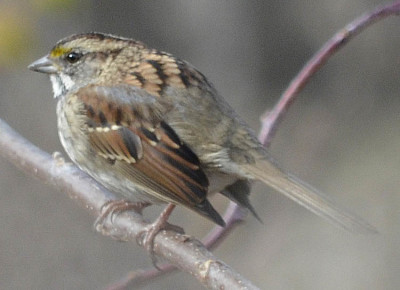 Photo of White Throated Sparrow Puff on NaturalCrooksDotCom