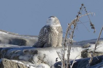 Photo of Snowy Owl Beak on NaturalCrooksDotCom
