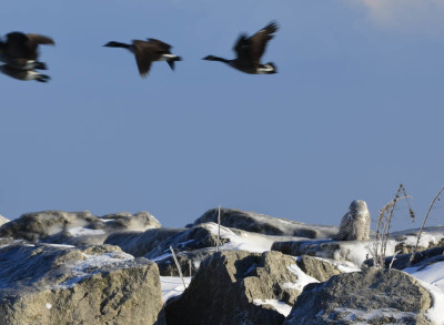 Photo of Snowy Owl Canada Geese on NaturalCrooksDotCom