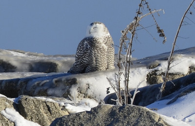 Photo of Snowy Owl on NaturalCrooksDotCom