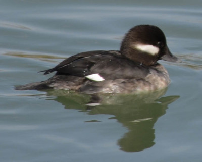 Photo of Bufflehead Female on NaturalCrooksDotCom