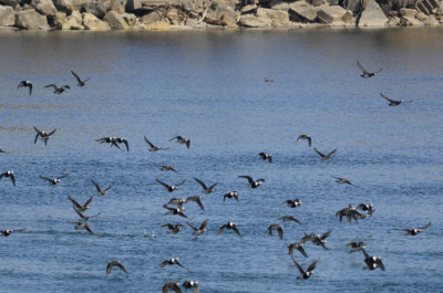 Photo of Bufflehead Flock in Flight on NaturalCrooksDotCom