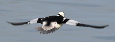 Photo of Bufflehead Male Flying On NaturalCrooksDotCom