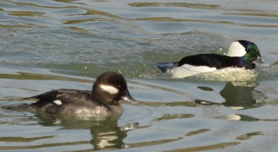 Photo of Bufflehead Pair On NaturalCrooksDotCom