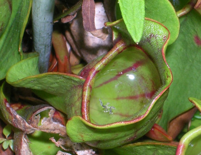Photo of Northern Pitcher Plant Bug Peggys Cove on NaturalCrooksDotCom
