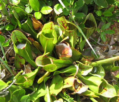 Photo of Northern Pitcher Plant Clump Peggys Cove On NaturalCrooksDotCom