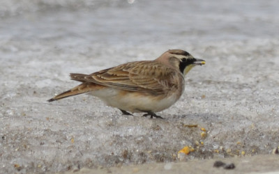 Photo of Prairie Horned Lark Corn on NaturalCrooksDotCom