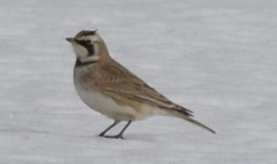 Photo of Prairie Horned Lark Horns on NaturalCrooksDotCom