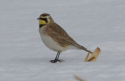 Photo of Prairie Horned Lark Stalk on NaturalCrooksDotCom
