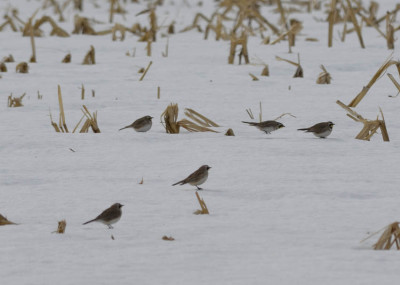 Photo of Prairie Horned Larks Corn Field on NaturalCrooksDotCom