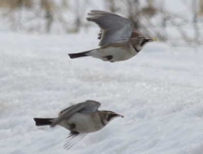 Photo of Prairie Horned Larks Flight with Corn on NaturalCrooksDotCom