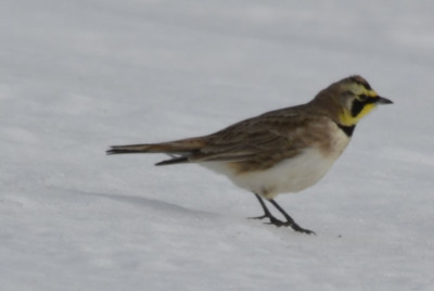 Photo of Prairie Male Horned Lark on NaturalCrooksDotcom