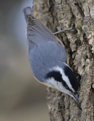 Photo of Red Breasted Nuthatch Bark on NaturalCrooksDotCom