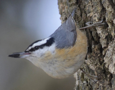 Photo of Red Breasted Nuthatch Bill on NaturalCrooksDotCom